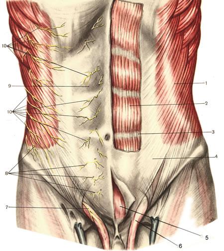 transversus abdominis - Tips gevraagd! | Pagina 2 | Bodybuilding.nl ...