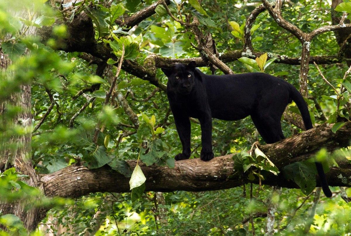 1920px-Black_Panther_-_India.jpg