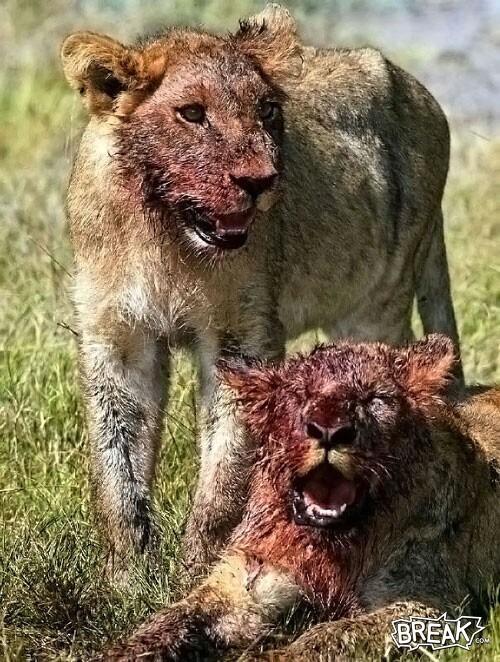19aug29-bloody-lions.jpg