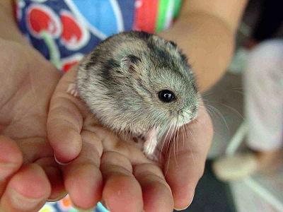 400px-Hamster_057eue.jpg
