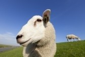 7402780-funny-lambs-in-summer-looking-at-the-camera.jpg