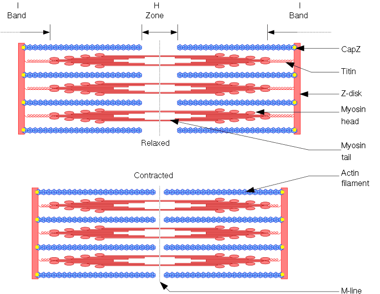 775px-Sarcomere.png