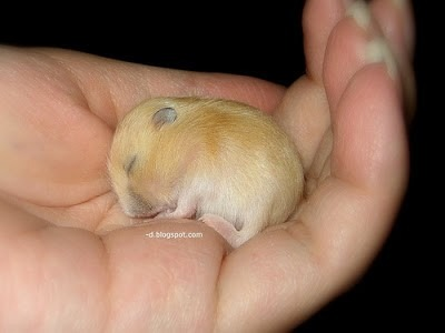baby-hamster-pudding-sleeping.jpg
