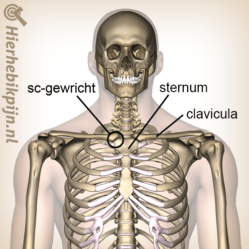 borst-sternoclaviculaire-gewricht-locatie-sternum-clavicula.png