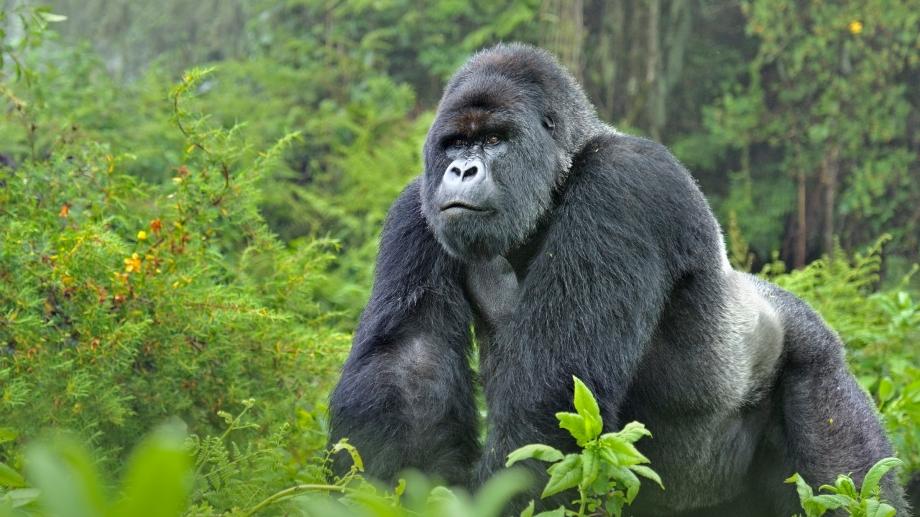 CroppedFocusedImageWzkyMCw1MTcuNSwieSIsNDdd-WWF-rangerclub-gorille-montagne-berg-gorilla-gallery.jpg