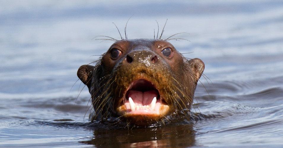 giant-otters-ft.jpg