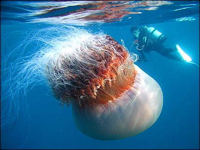 huge-jellyfish.jpg