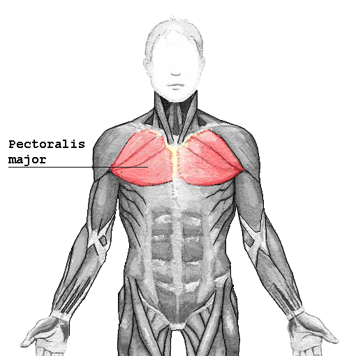 Pectoralis_major.png