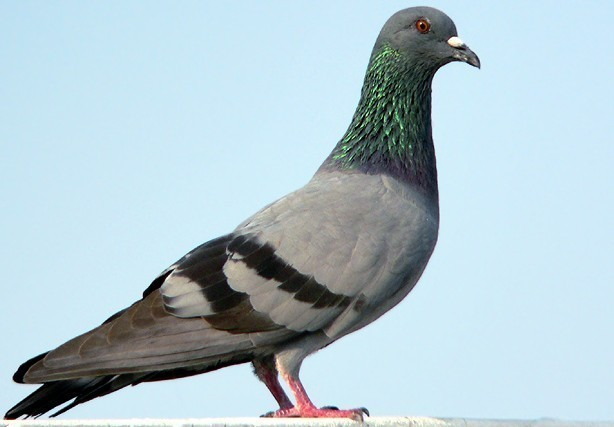 rock_pigeon.jpg