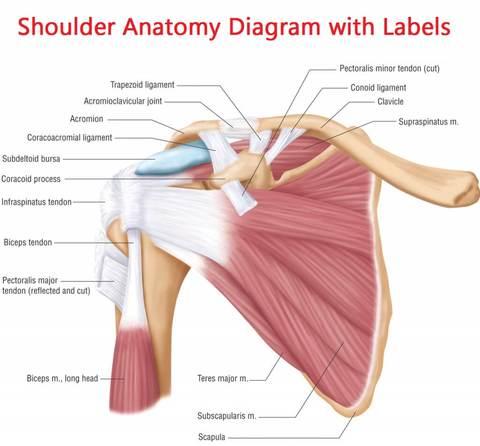 shoulder-joints-anatomy-shoulder-joint-anatomy-human-body-organs_large.jpg